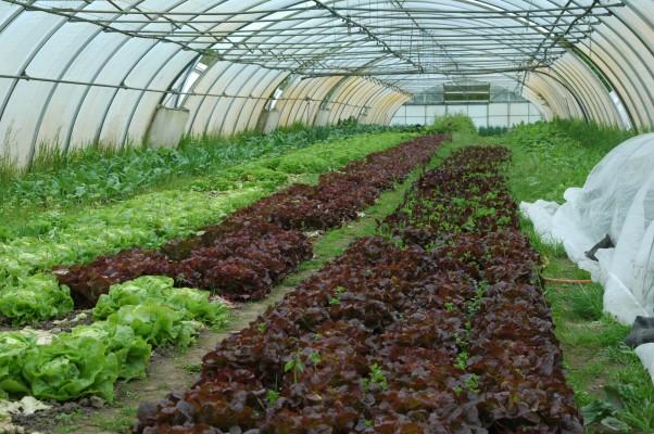 Lange Reihen Salat im Planengewächshaus