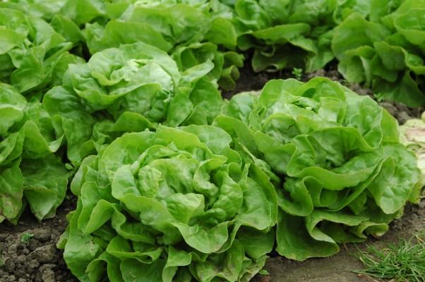 Salat - Bioland zertifiziert